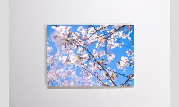 TOHOKU Roots Project「煙が目にしみる」祝い桜パネル【1~10】 イベント画像1